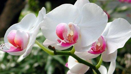 entretien d 39 une orchid e. Black Bedroom Furniture Sets. Home Design Ideas