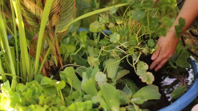 cultiver des plantes aquatiques pour un d cor v g tal. Black Bedroom Furniture Sets. Home Design Ideas